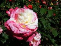 2018-06-09花巻薔薇園170