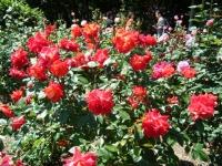2018-06-09花巻薔薇園169