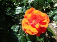 2018-06-09花巻薔薇園180