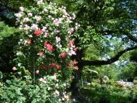 2018-06-09花巻薔薇園179