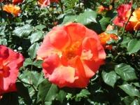 2018-06-09花巻薔薇園177