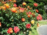 2018-06-09花巻薔薇園176