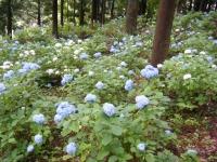 2018-07-08舞川紫陽花園ー重箱石135