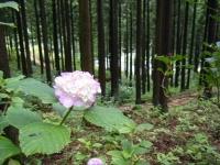 2018-07-08舞川紫陽花園ー重箱石144