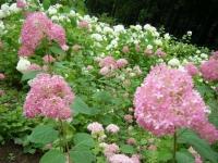2018-07-08舞川紫陽花園ー重箱石142