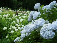 2018-07-08舞川紫陽花園ー重箱石140