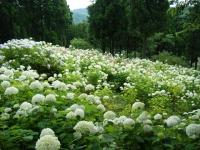 2018-07-08舞川紫陽花園ー重箱石139