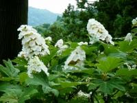 2018-07-08舞川紫陽花園ー重箱石150
