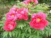 2018-05-13花と泉の公園-牡丹園233