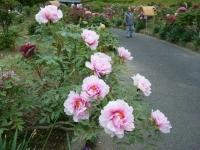 2018-05-13花と泉の公園-牡丹園231