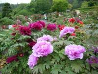 2018-05-13花と泉の公園-牡丹園230