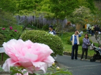 2018-05-13花と泉の公園-牡丹園229
