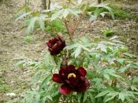 2018-05-13花と泉の公園-牡丹園240