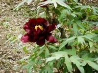 2018-05-13花と泉の公園-牡丹園239