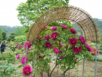2018-05-13花と泉の公園-牡丹園238