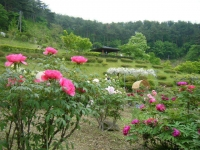 2018-05-13花と泉の公園-牡丹園237