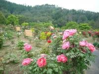 2018-05-13花と泉の公園-牡丹園236