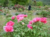 2018-05-13花と泉の公園-牡丹園235
