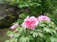 2018-05-13花と泉の公園-牡丹園242
