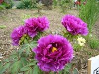 2018-05-13花と泉の公園-牡丹園241