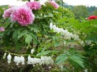 2018-05-13花と泉の公園-牡丹園250