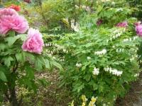 2018-05-13花と泉の公園-牡丹園249