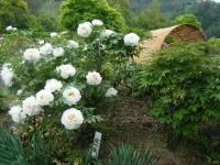 2018-05-13花と泉の公園-牡丹園248
