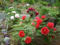 2018-05-13花と泉の公園-牡丹園247