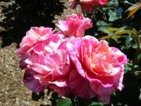 2018-06-09花巻薔薇園185