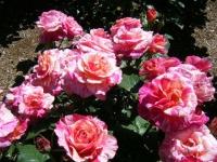 2018-06-09花巻薔薇園184