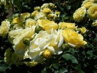 2018-06-09花巻薔薇園181