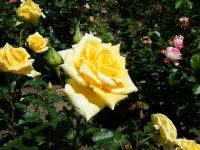 2018-06-09花巻薔薇園191