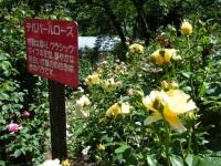 2018-06-09花巻薔薇園189