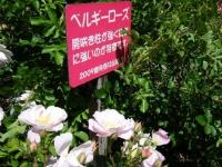 2018-06-09花巻薔薇園188