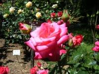 2018-06-09花巻薔薇園187