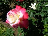 2018-06-09花巻薔薇園198