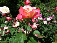 2018-06-09花巻薔薇園197
