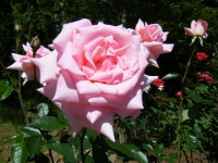 2018-06-09花巻薔薇園193