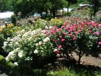 2018-06-09花巻薔薇園199