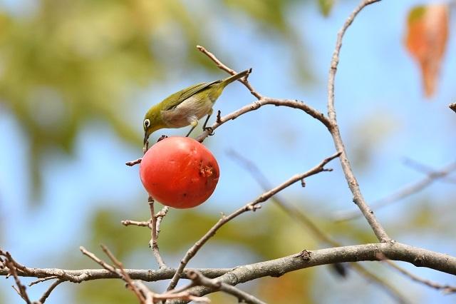 柿メジロ6p