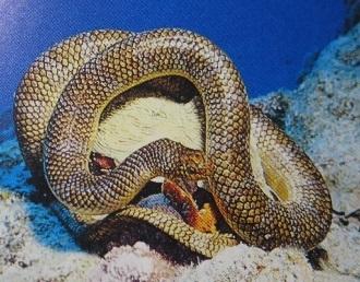 図鑑の海ヘビ