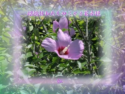 フォト575zrr1706『 環境はわたしのことよ花木槿 』