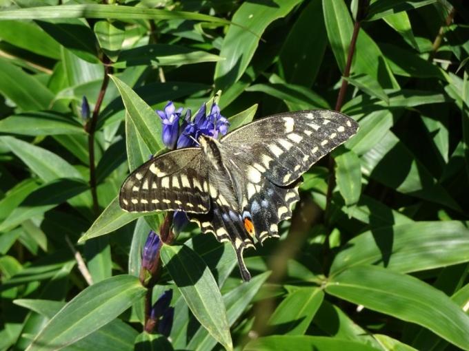 オヤマリンドウのアゲハチョウ