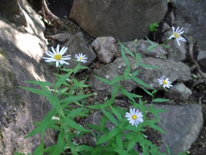 岩場に咲くキク