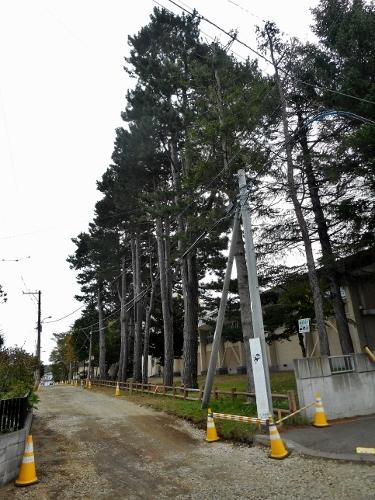 小野幌小学校 マツ並木