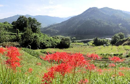 ヒガンバナのある景色