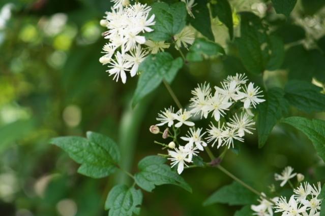 キンポウゲ科のボタンヅル Clematis apiifolia -02