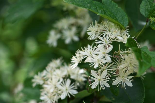 キンポウゲ科のボタンヅル Clematis apiifolia -03