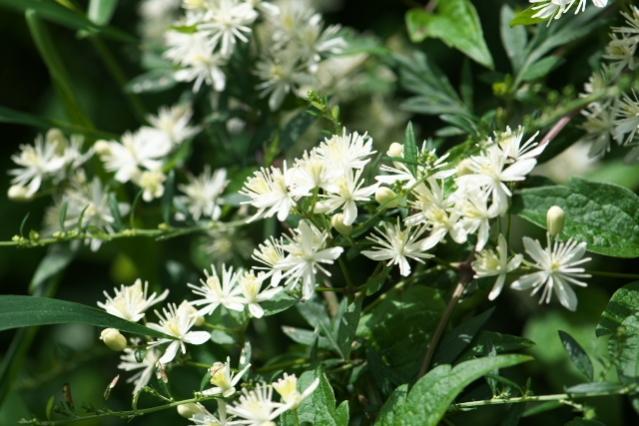 キンポウゲ科のボタンヅル Clematis apiifolia -01