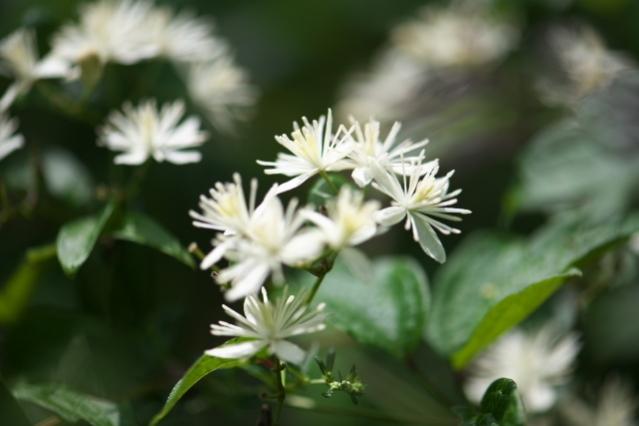 キンポウゲ科のボタンヅル Clematis apiifolia -04
